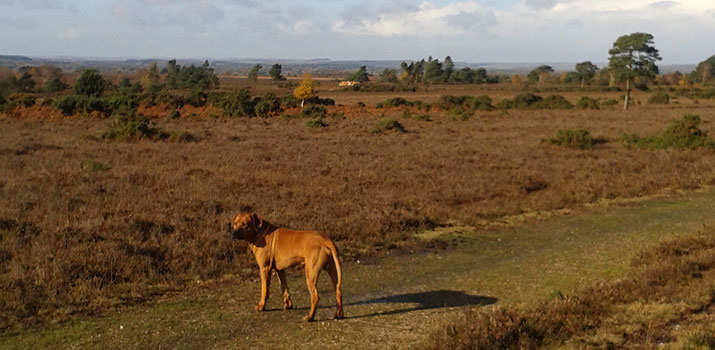 Dog walking on New Forest