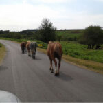 Safe driving campaign helps to reduce number of animals hit on the roads in the New Forest