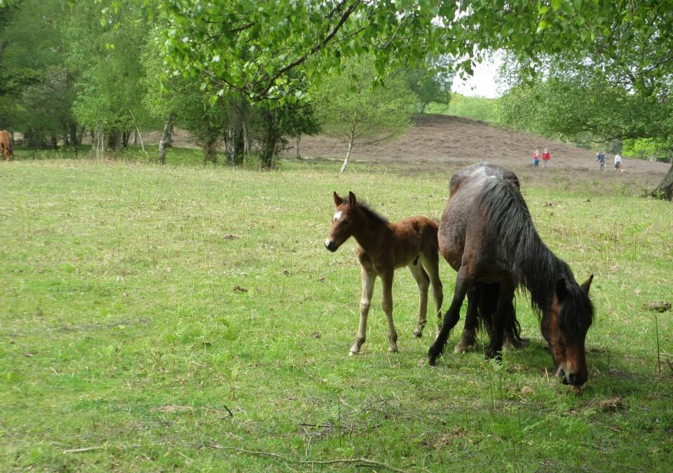 New Forest Ponies at Risk