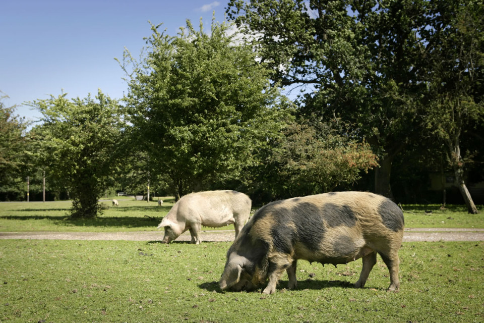 Pannage season and the New Forest pigs