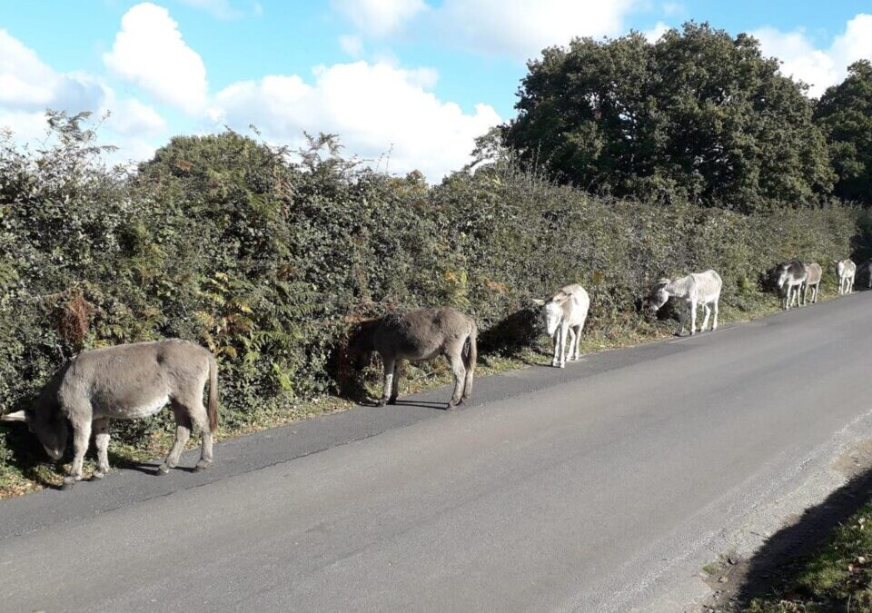 Plea to drivers following the death of three donkeys in the New Forest